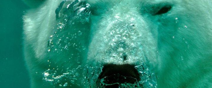 Agua oso polar