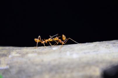 Hormiga - Caldaria