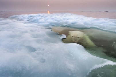 Oso bajo el hielo - Caldaria