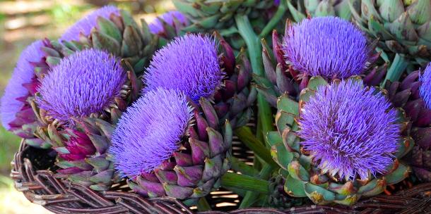 Flores de alcachofas