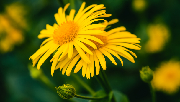 Flores de árnica