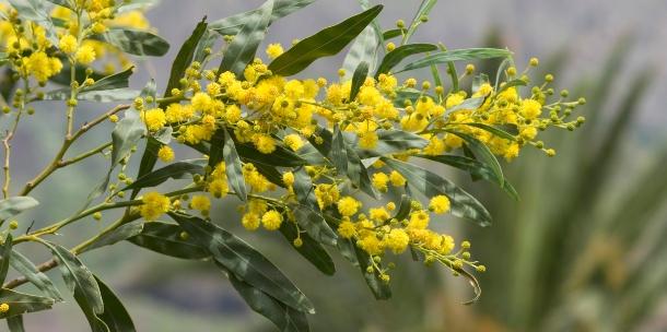Propiedades curativas de las acacias